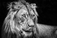 The Lion III - Black & White Fine Art Print