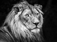 The Lion V - Black & White Fine Art Print