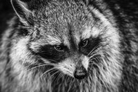 The Raccoon - Black & White Fine Art Print