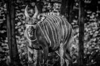 The Deer II - Black & White Fine Art Print