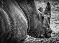 Rhino - Black & White Fine Art Print