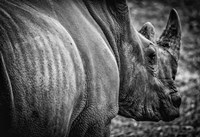 Rhino II - Black & White Fine Art Print