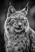 Lynx in the Rain - Black & White Fine Art Print