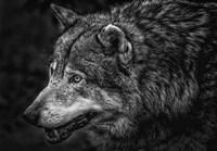 Lone Wolf - Black & White Fine Art Print