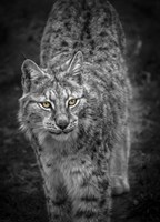 Young Lynx Looking Up - Black & White Fine Art Print