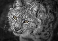 Lynx Eyes Fine Art Print