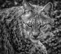 The Lynx II - Black & White Fine Art Print