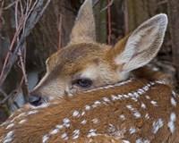 Mule Deer Fawn Fine Art Print