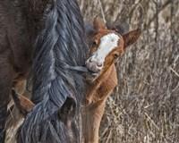 Ochoco Wild Foal - Big Summit HMA Fine Art Print