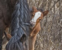 Ochoco Wild Foal - Big Summit HMA Fine Art Print