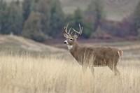 Montana Whitetail Buck III Fine Art Print