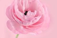 Pink Pink Ranunculus I Fine Art Print