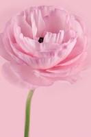 Pink Pink Ranunculus II Fine Art Print