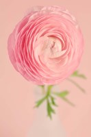 Pink Ranunculus Flower I Fine Art Print