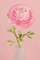 Pink Ranunculus Flower II Fine Art Print