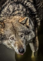 Wolf in the Water Fine Art Print