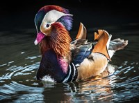 Mandarin Duck Fine Art Print