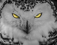 Evil Owl II Black & White Fine Art Print