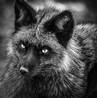 Silver Fox Black & White Fine Art Print