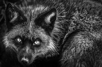 Silver Fox II Black & White Fine Art Print