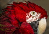Ara Parrot Close Up Fine Art Print