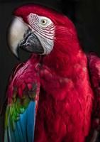 Ara Parrot Fine Art Print