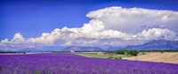 Cloud Bank Over Lavender - Panorama Fine Art Print