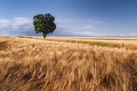 Lone Tree In Wheat Field Fine Art Print