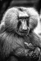 Baboon  Black & White Fine Art Print