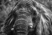 Elephant Front Black & White Fine Art Print