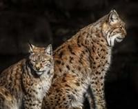 Two Lynxes Fine Art Print