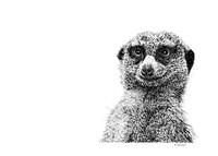 Meerkat Fine Art Print