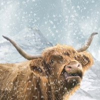 Highland Cow 1 Fine Art Print