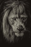 The White Albino Lion IV Sepia Fine Art Print
