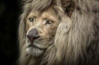 The White Albino Lion Close Up Fine Art Print