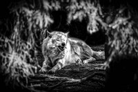 The Howling Wolf Black & White Fine Art Print