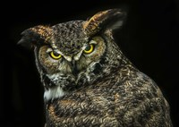 Yellow Eyed Owl Fine Art Print