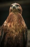 Predator Bird III Fine Art Print