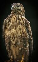 Predator Bird IV Fine Art Print