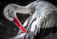 The Stork III Fine Art Print