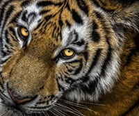 Tiger Close Up Fine Art Print