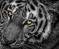 Tiger Close Up Black & White Fine Art Print