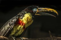 Little Toucan Fine Art Print