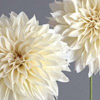 2 Cream Dahlias on Gray Fine Art Print