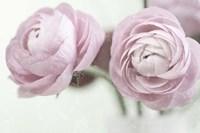 2 Pink Rannunculus Fine Art Print
