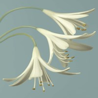 3 Snowdrops on Blue Fine Art Print