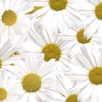 Collection of Daisies Fine Art Print