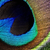 Peacock Feather 2 Fine Art Print