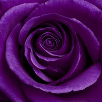 Purple Rose 1 Fine Art Print