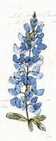 Texas Bluebonnet III Fine Art Print